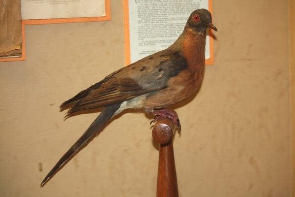 Extinct Passenger Pigeon Ectopistes migratorius at Cincinnati Zoo