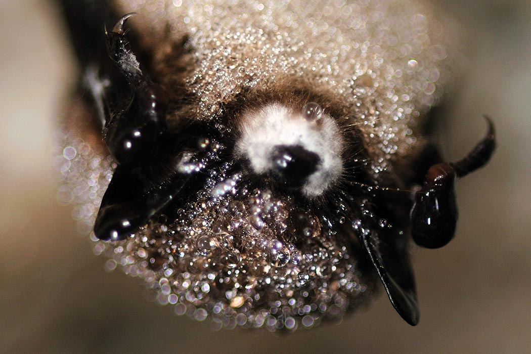 Little_brown_bat_with_white-nose_syndrome_(5751822315)_1050x700