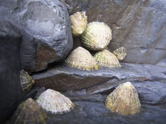 Limpets on a rock