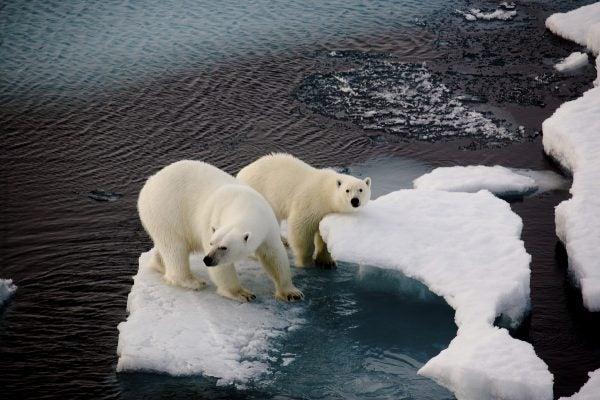 Arktis, EisbŠr*, EisbŠren*, Fauna*, Klima*, Nordpol, Nordpol07, Polarbear*, PolarbŠr*, PolarbŠren*, Polarregion*, Russland*, Tiere*, arktische Fauna*, weite*
