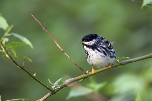 Blackpoll Warbler (Dendroica striata) on branch
