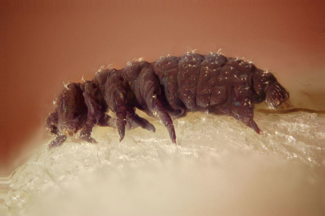 Image result for Tardigrade