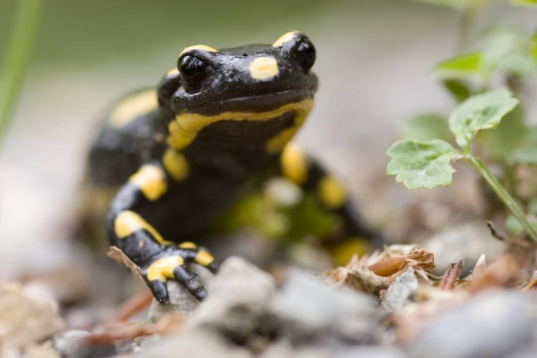 Earth Wind And Fire Salamanders Jstor Daily