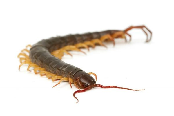 closeup of brown centipede