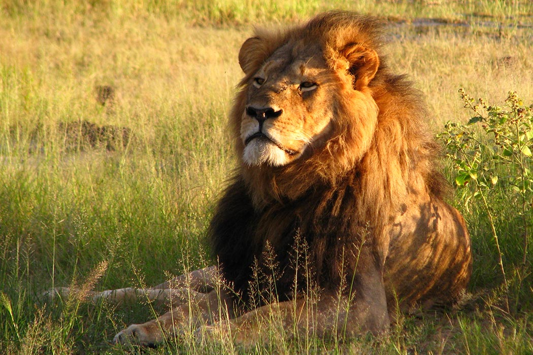 "Cecil Hwange National Park, Zimbabwe 2010  ""Cecil the lion"" by Daughter#3 - https://www.flickr.com/photos/daughter3986851963/4516561242/. Licensed under CC BY-SA 2.0 via Wikimedia Commons - https://commons.wikimedia.org/wiki/File:Cecil_the_lion.jpg#/media/File:Cecil_the_lion.jpg"