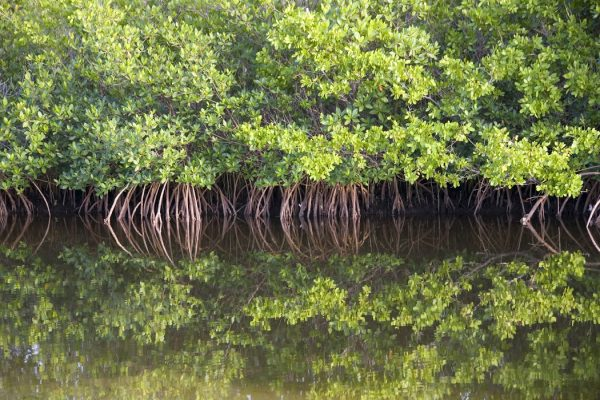 A dense group of mangrove trees are reflected in a swamp.