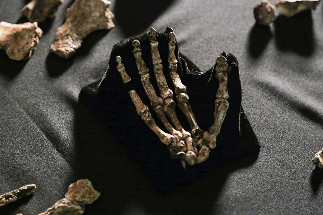 """Homo naledi, hand (Hawks version)"" by John Hawks - http://www.eurekalert.org/multimedia/pub/99005.php. Licensed under CC BY-SA 3.0 via <a href=""https://commons.wikimedia.org/wiki/File:Homo_naledi,_hand_(Hawks_version).jpg#/media/File:Homo_naledi,_hand_(Hawks_version).jpg"" target=""_blank"">Wikimedia Commons</a>"