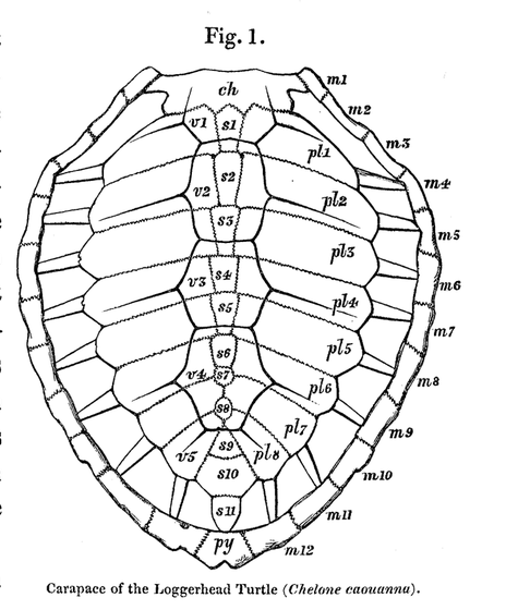 illustration of turtle shell