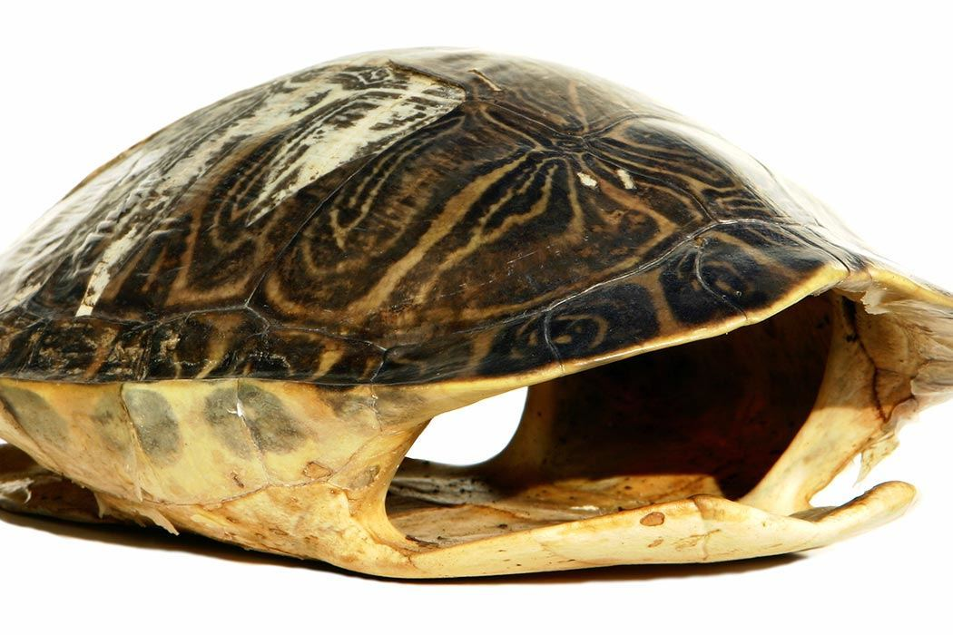 Turtle Shells More Than Meets The Eye Jstor Daily