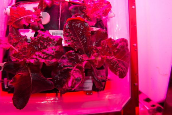 """Astronauts on the International Space Station are ready to sample their harvest of a crop of """"Outredgeous"""" red romaine lettuce from the Veggie plant growth system that tests hardware for growing vegetables and other plants in space. Credits: NASA"""