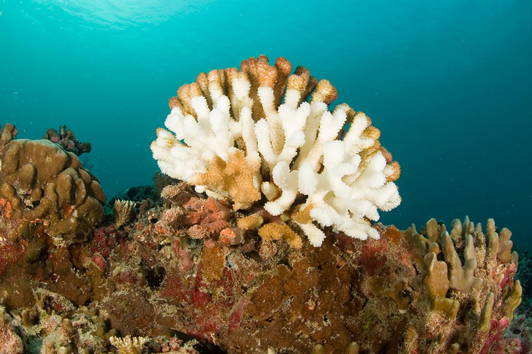Bleached wart coral