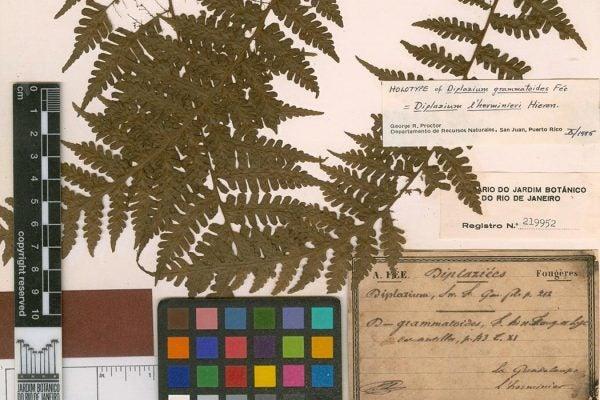 Holotype of Diplazium grammatoides Fée; Verified by George R. Proctor, 1985/10