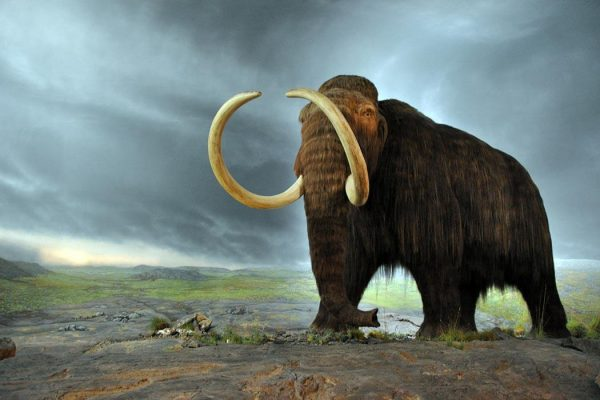 Wolly Mammoth model at the Royal BC Museum