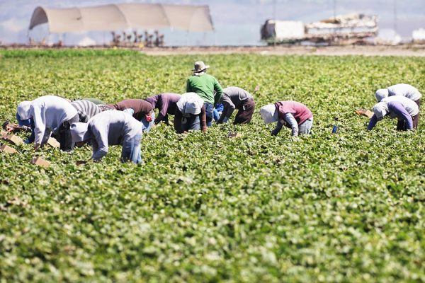 Farm workers harvesting vegetable crop.