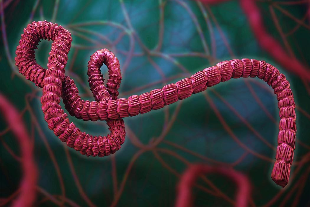 a description of the ebola virus scourge and the different strains Ebola virus (ebov) is a member of the filoviridae virus family along with marburg virus (marv) together they are commonly known as filoviruses ebov is a virulent pathogen that causes fatal hemorraghic fever in humans and nonhuman primates (hartlieb et al 2005.