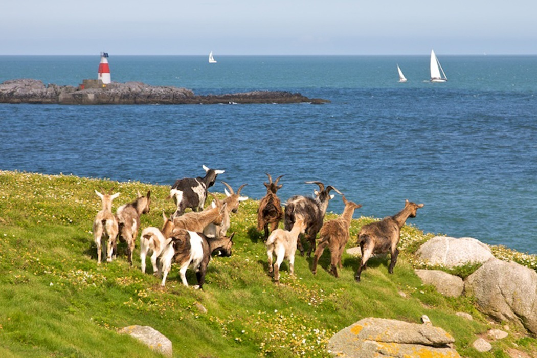 Goats at Dalkey Island