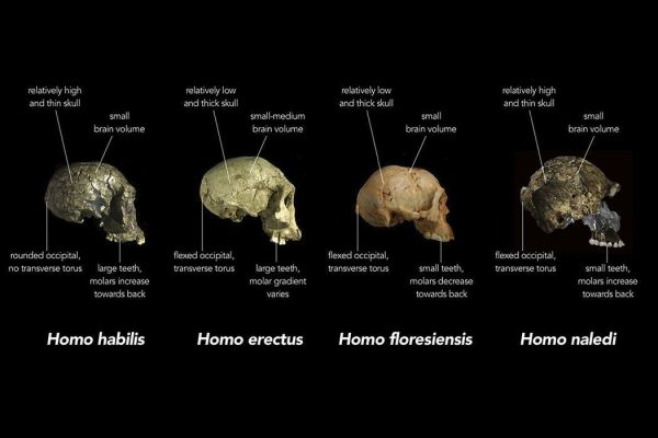 Comparison of skull features of Homo naledi and other early human species.