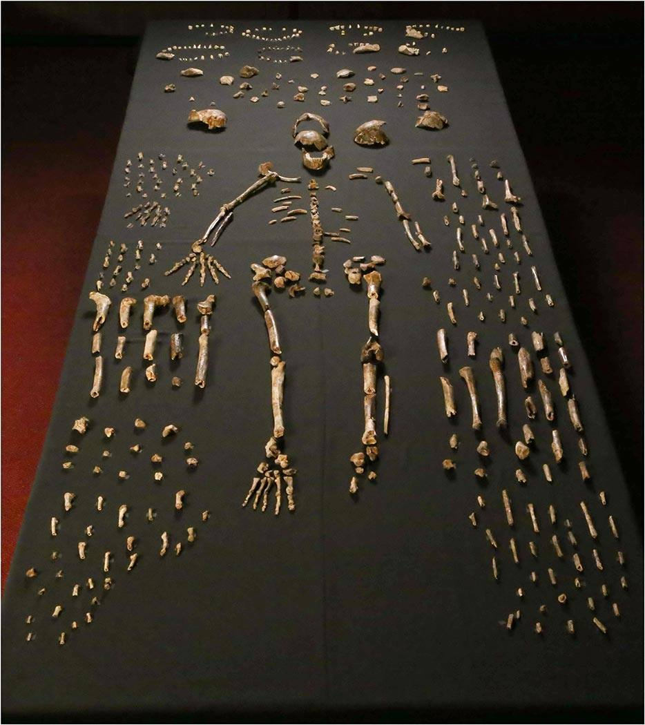 A sample of the 1,550 skeletal pieces recovered go Homo Naledi.