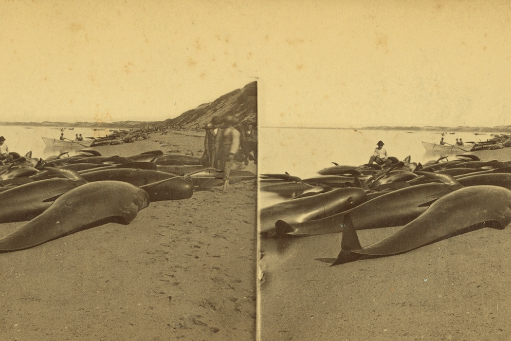 Blackfish. G. H. Nickerson, Provincetown, Cape Cod Views.