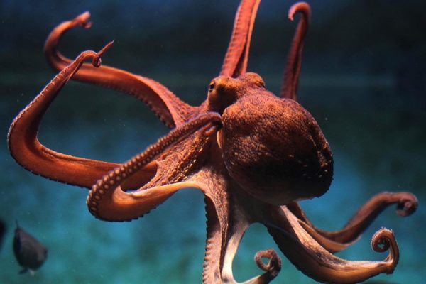 Octopus vulgaris.