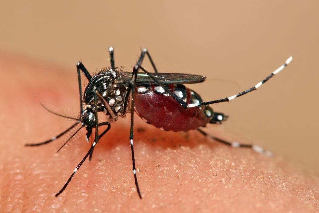 Aedes aegypti feeding.
