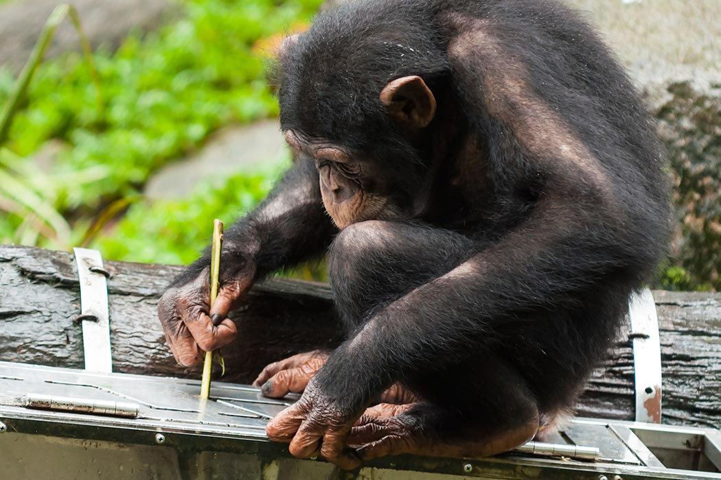 Chimpanzee working with a tool.