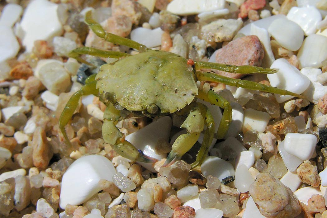 A young Carcinus maenas showing the common green colour