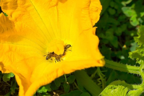 Honeybees pollenating pumpkin flower.