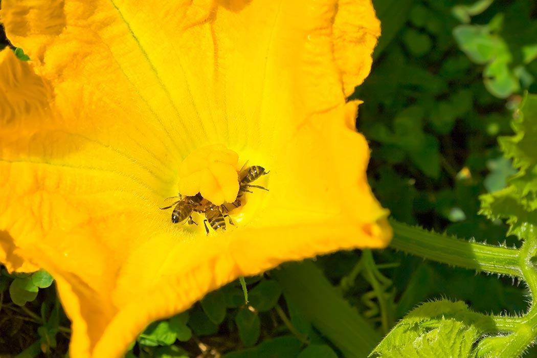 Honeybees pollenating pumpkin flower.
