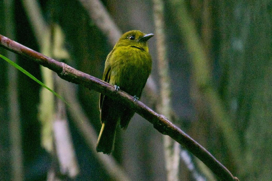 Sapayoa aenigma, Nusagandi, Panama