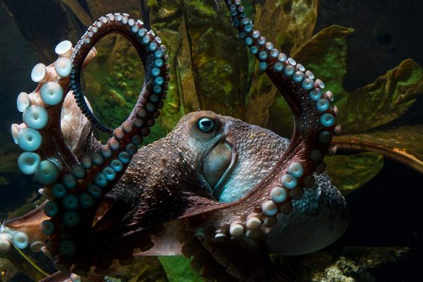 Inky the octopus swimming in a tank at the National Aquarium of New Zealand in Napier, New Zealand. Courtesy of the National Aquarium of New Zealand