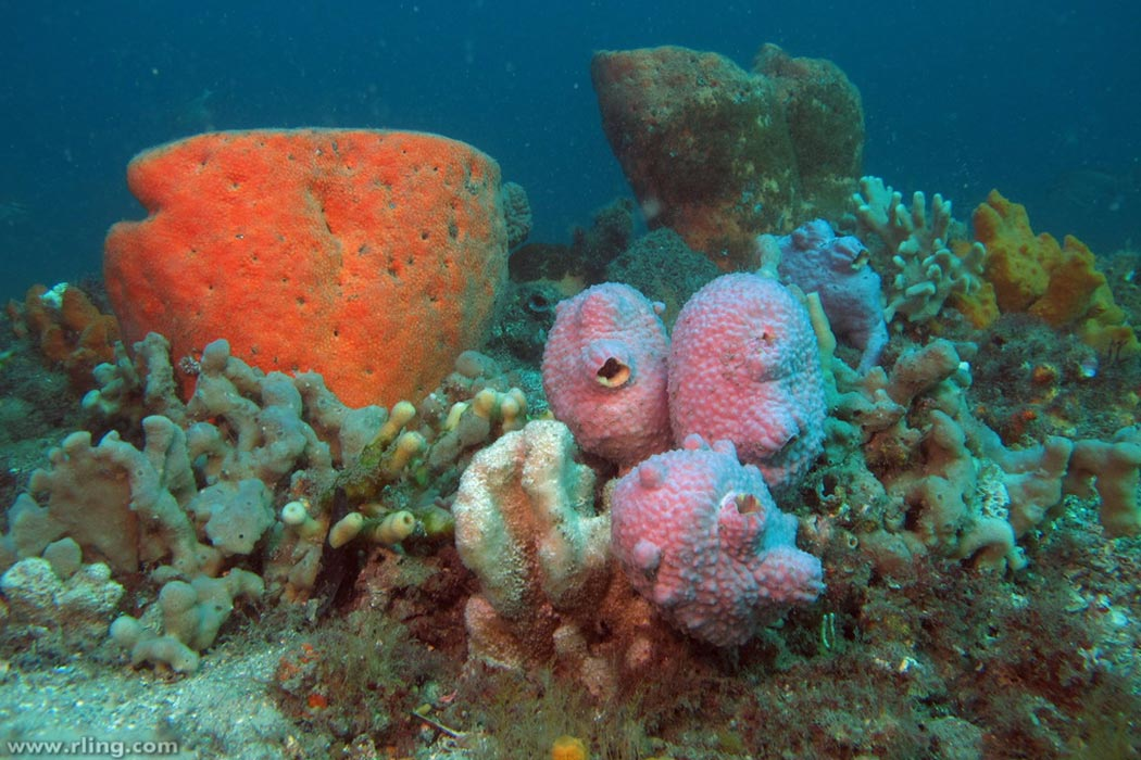 Colourful sponge garden with Sea Tulips (Pyura spinifera). Fly Point, Port Stephens, NSW