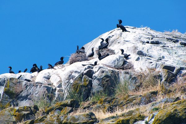 Cormorants on a Guano Island
