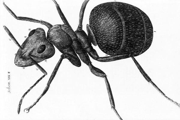 ant_micrographia1050x700