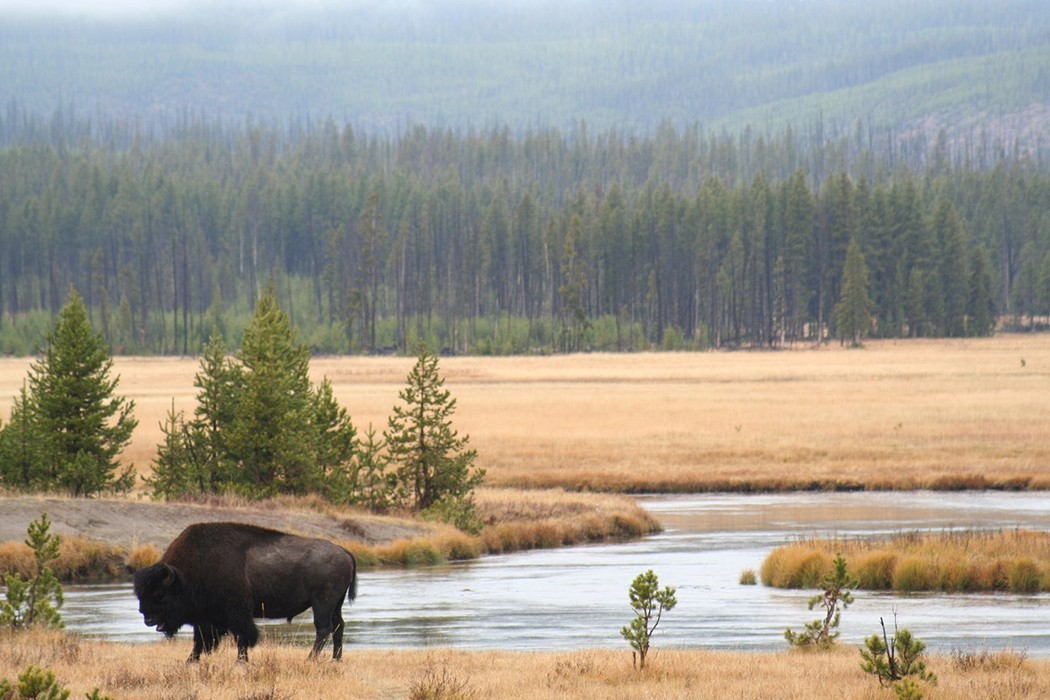 How Not To Approach Wildlife In Yellowstone National Park