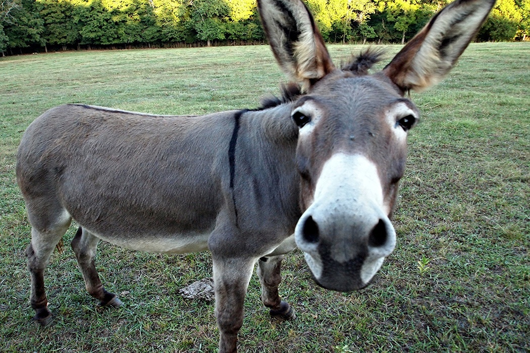 https://daily.jstor.org/wp-content/uploads/2016/06/donkey1050x700.jpg