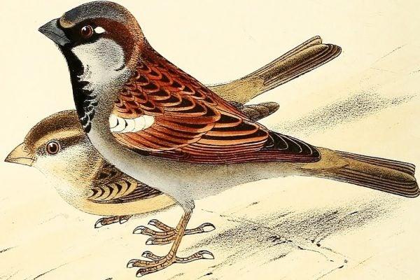house_sparrow_1050x700