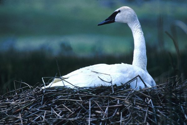 trumpeter_swan_climate_change1050x700