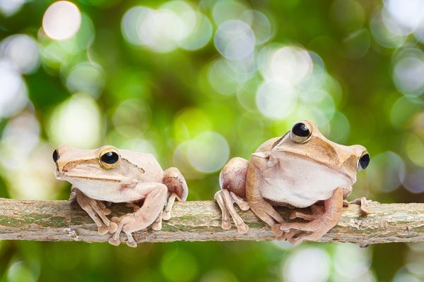 Photograph of two frogs
