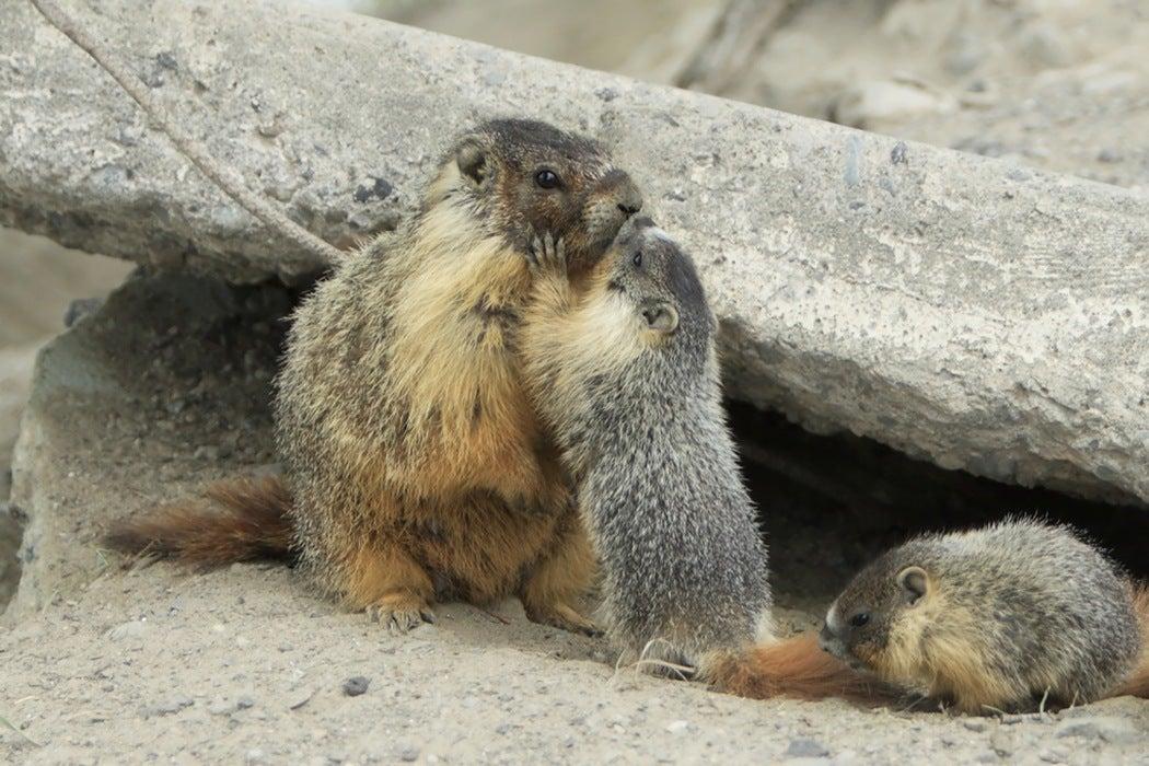 altruistic marmot