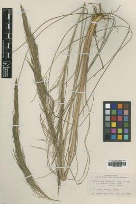 Muhlenbergia longifolia Vasey