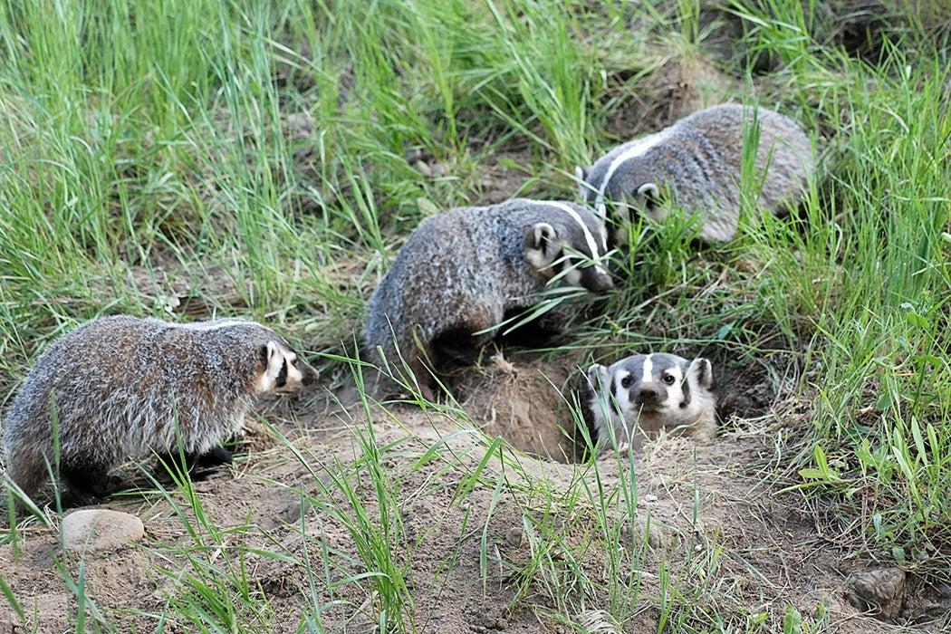 Badger group