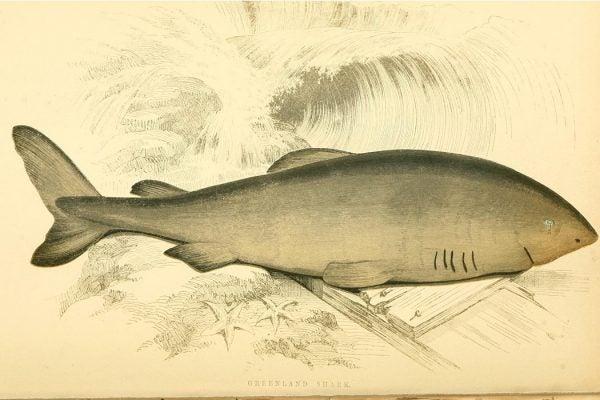 Greenland Shark illustration