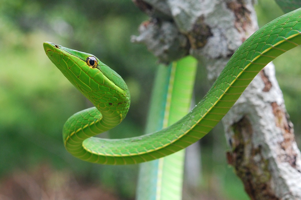 Snakes may be able to predict earthquakes