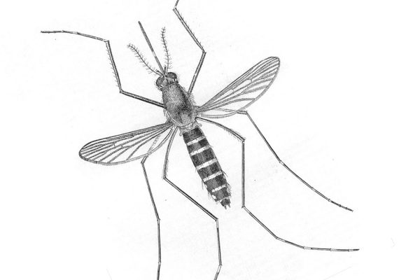mosquito illustration