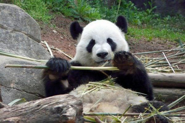 cute_panda_1050_700