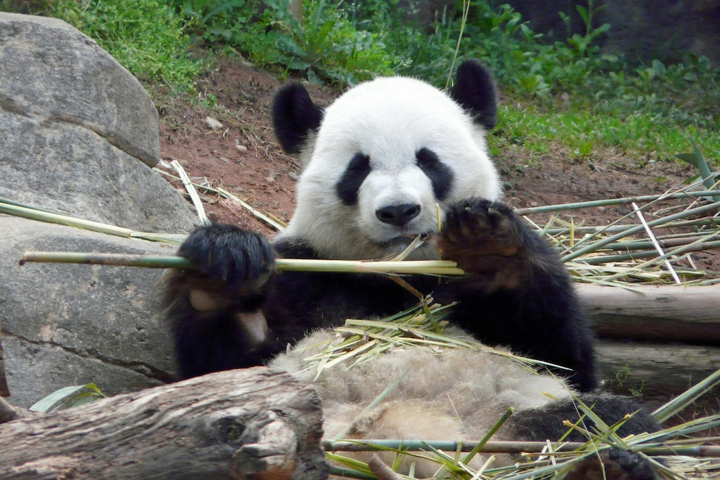Why Do Pandas Have Thumbs Jstor Daily