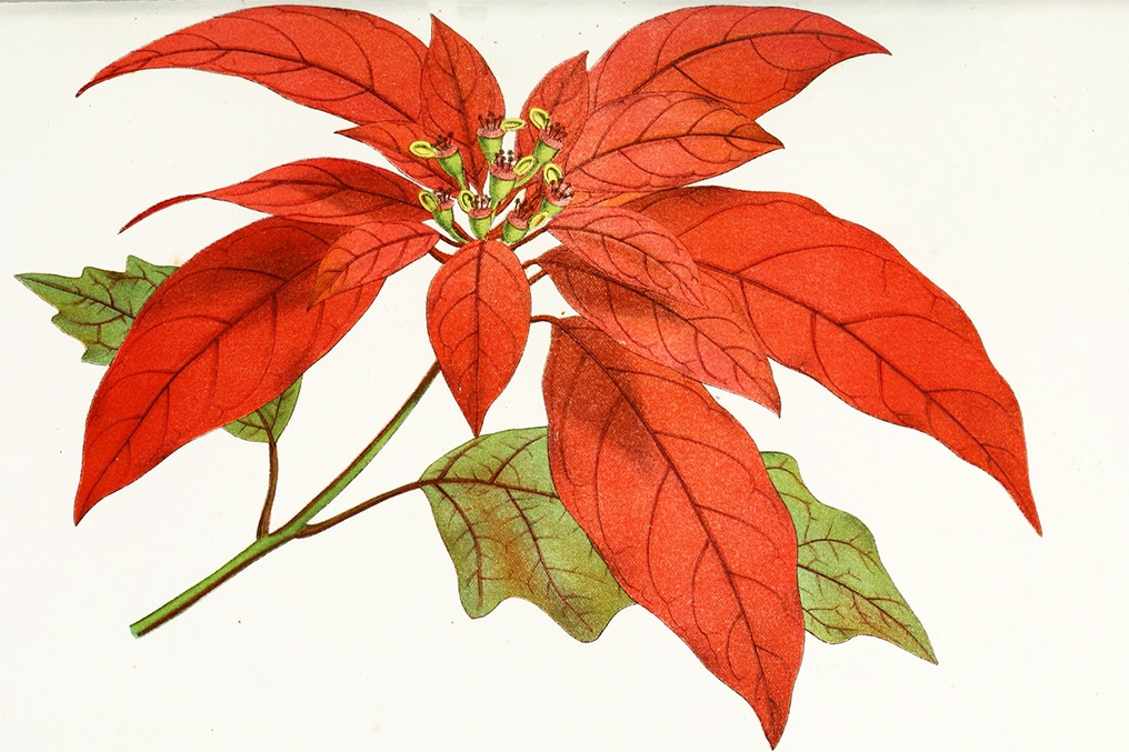 What Poinsettias Have To Do With Us Mexico Relations Jstor Daily