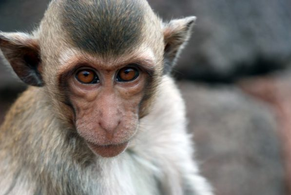 crab-eating macaque monkey