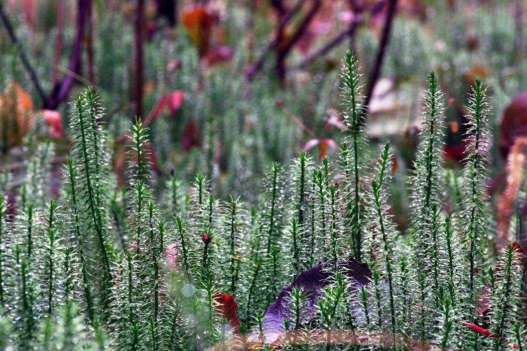 Stiff clubmoss (Lycopodium annotinum) in summer